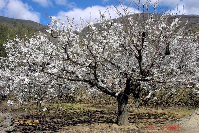 Pide un deseo - Página 2 28559-jerte-cerezo-en-flor