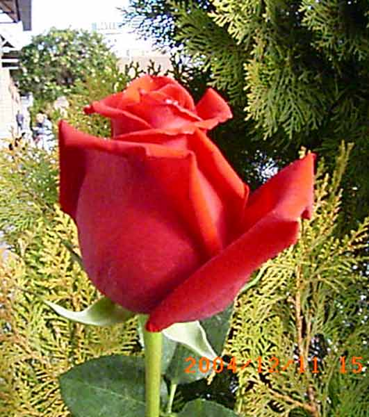 BUSQUEMOS HERMOSAS FLORES - Página 7 3086-alhambra-rosas